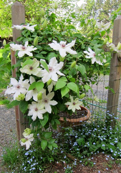 """Clematis """"Fragrant Star"""" shares the stage with volunteer forget-me-nots"""