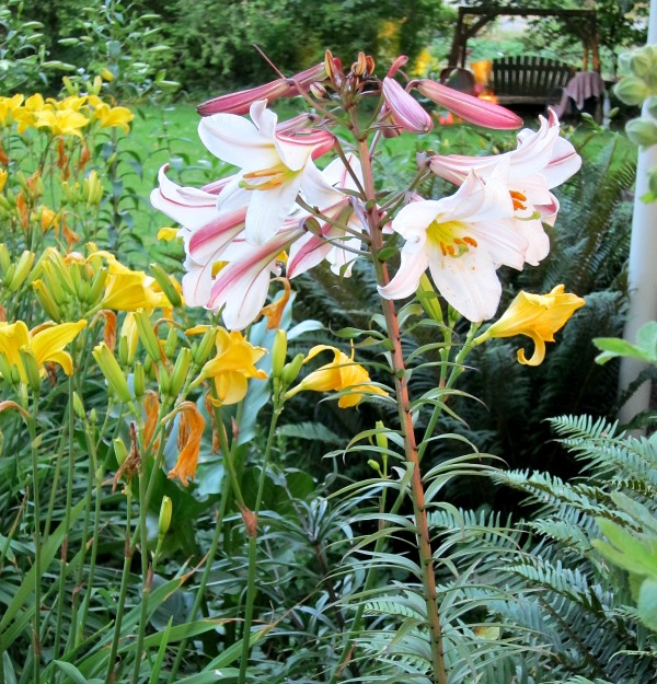 June Bloomer Regale Lily