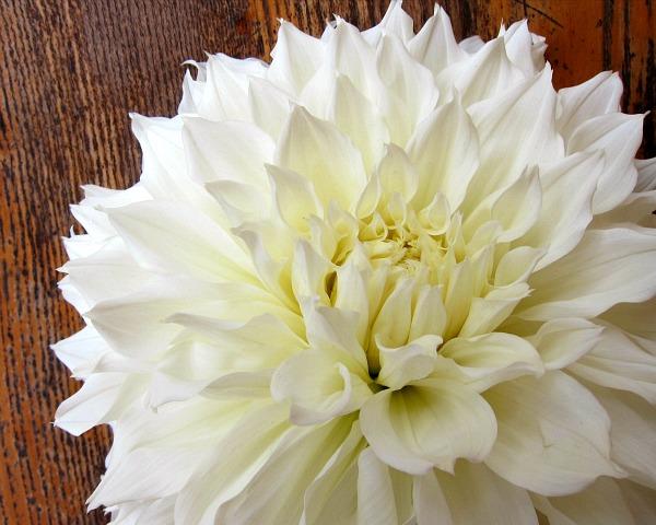 Fleurel white dahlia
