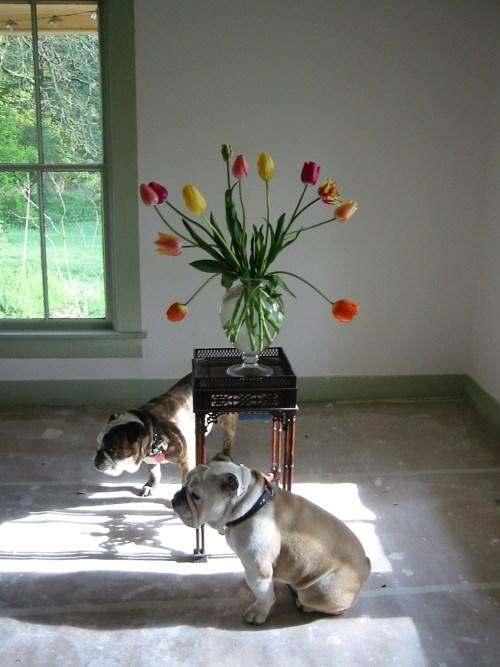 tulips and bulldgos