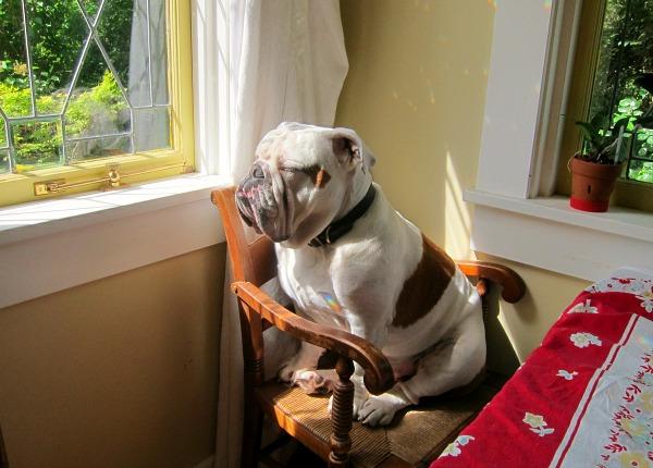 bulldog zen