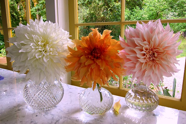 dinnerplate dahlias decanters