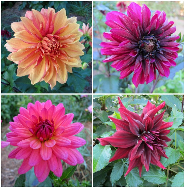 I Grow Dahlias, Dahlias Galore