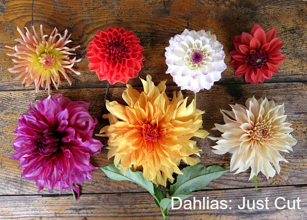 dahlias without water just cut