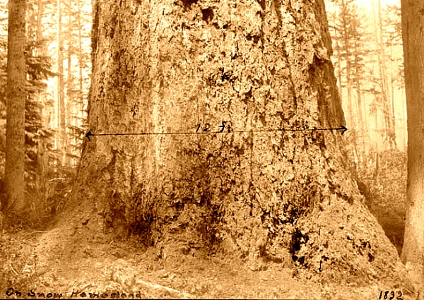 Largest Fir on Vashon 1892, 12 ft diameter, 38 ft circumference. (photo credit, University of Washington, digital collection