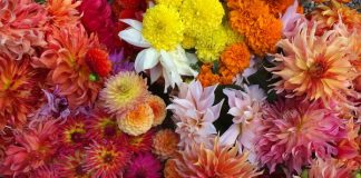 Greenhouse grown beauties: dahlias, zinnias, and giant marigolds