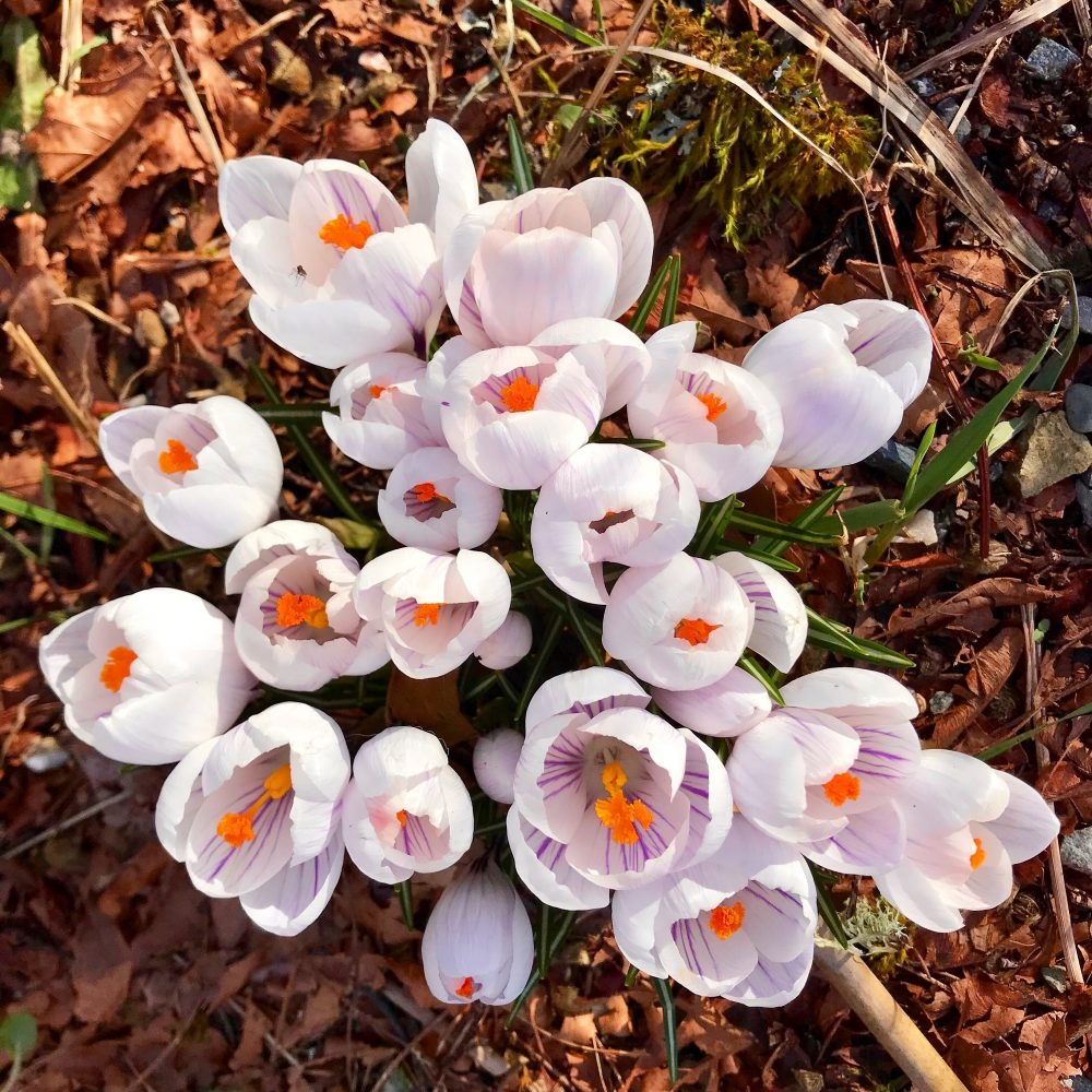 Crocus Weather And Then Some >> Vashon Snow After The Storm S Tall Clover Farm