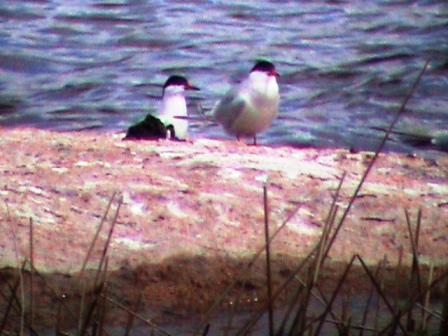Whose tern is it anyway?