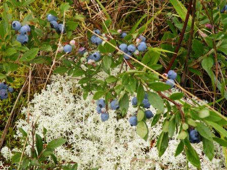 Blueberries and moss