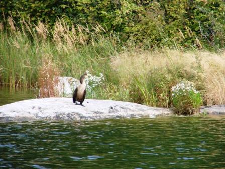 Goofy looking cormorant