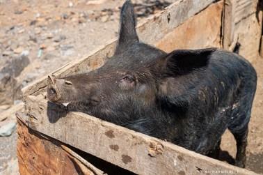 Families keep pigs in Sao Pedro