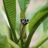 Frangipani flower buds!