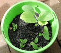 Comfrey shoots from root stock