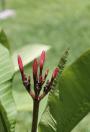 Frangipani buds