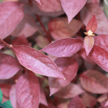 Rich burgundy leaves