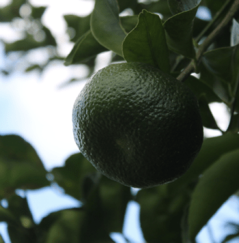 A ripening mandarin