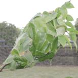 Green ant nest in the starfruit tree
