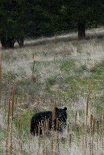 Black bear in snow squal