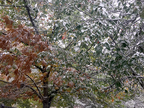 snow on maple