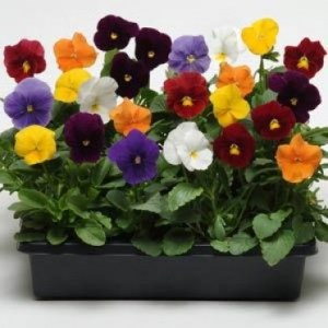 pansy-clear-crystal-mixed