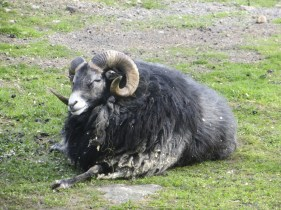 A sheep, with horns, curly horns.