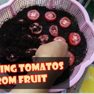Semai Tomat dari Buah – Cara Mudah Budidaya Tomat secara Vegetatif