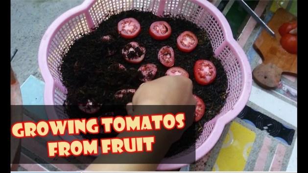 Cara Menanam Tomat - Semai & Budidaya Tomat dari Buah Taman Inspirasi SAFA
