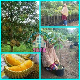 Bibit Durian Kaki Tiga