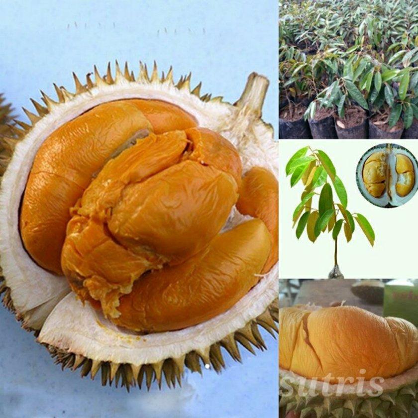 Durian Duri Hitam