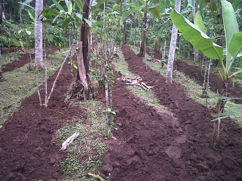 Persiapan Lahan Tanaman Durian