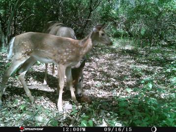 Trail Camera Photos, from Dennis Puls, Frackville, 9-16-2015 (21)