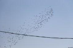 Flock of Birds Over Tamaqua, 11-25-2015 (44)
