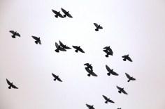 circling-pigeons-west-broad-street-tamaqua-2-8-2017-12