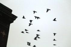 circling-pigeons-west-broad-street-tamaqua-2-8-2017-19