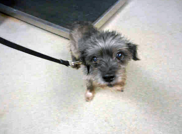 A1696938 I am a neutered male, black and gray Cairn Terrier. The shelter staff think I am about 6 years old. I have been at the shelter since Nov 22, 2014.