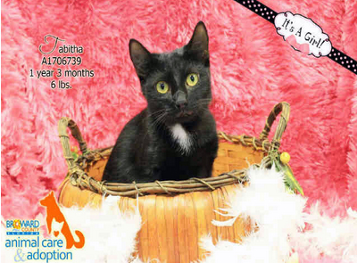 TABITHA - ID#A1706739 I am a spayed female, black Domestic Shorthair. The shelter staff think I am about 1 year and 4 months old. I have been at the shelter since Oct 12, 2014.