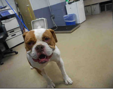 ID#A1717395 I am a neutered male, tan and white American Bulldog. My age is unknown. I have been at the shelter since Nov 26, 2014.