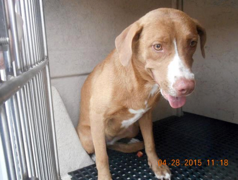 If you miss these dates. This dog is still available for adoption from Broward County Animal Care. ID#A1743274