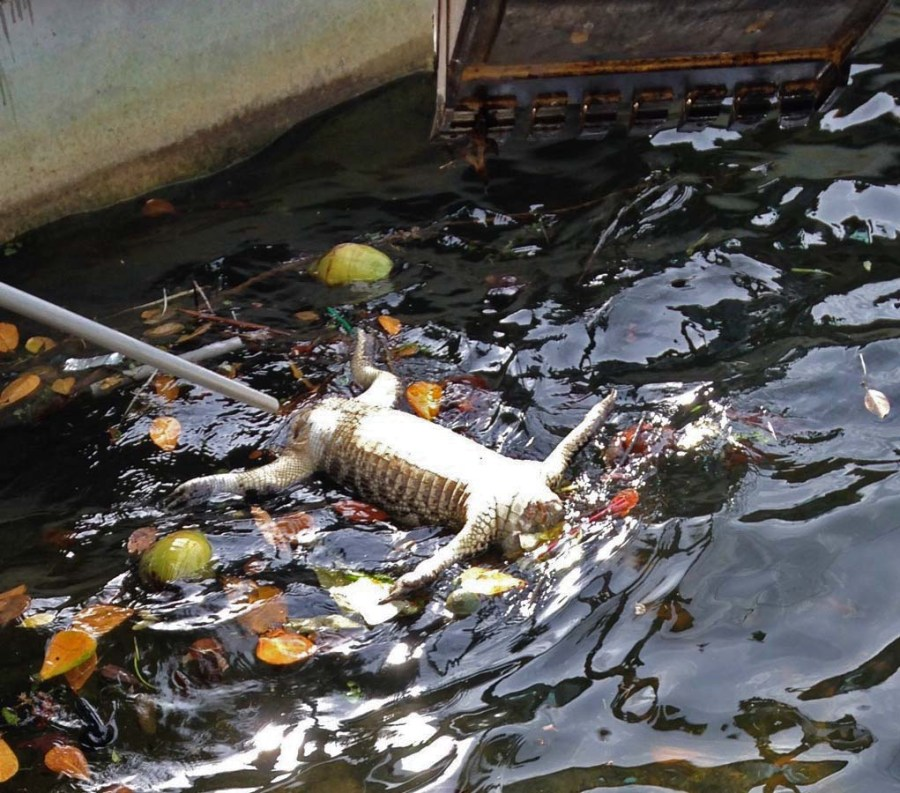 City of Tamarac removing alligator from canal.  Photo by David Corito.