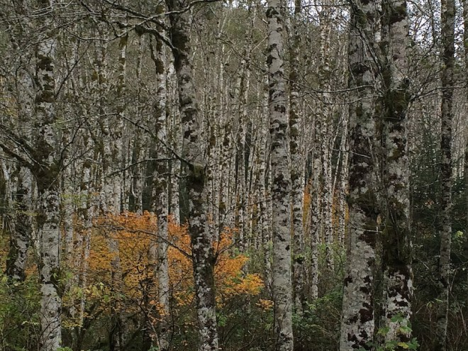 alders, fall color, coast
