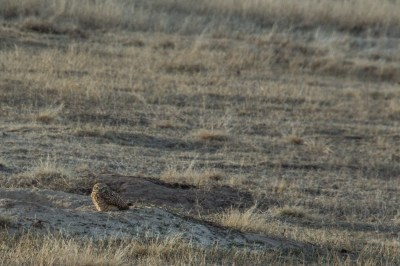 Nebraska burrowing owl