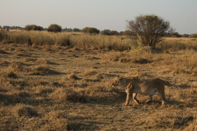 Lioness after dinner