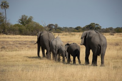 Elephant family moseying by.