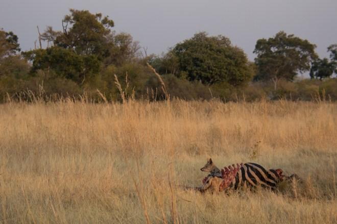 Black-backed jackal, zebra carcass. Moremi National Park, Botswana