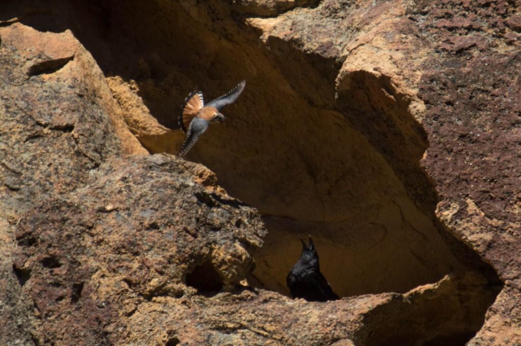 kestrel and raven
