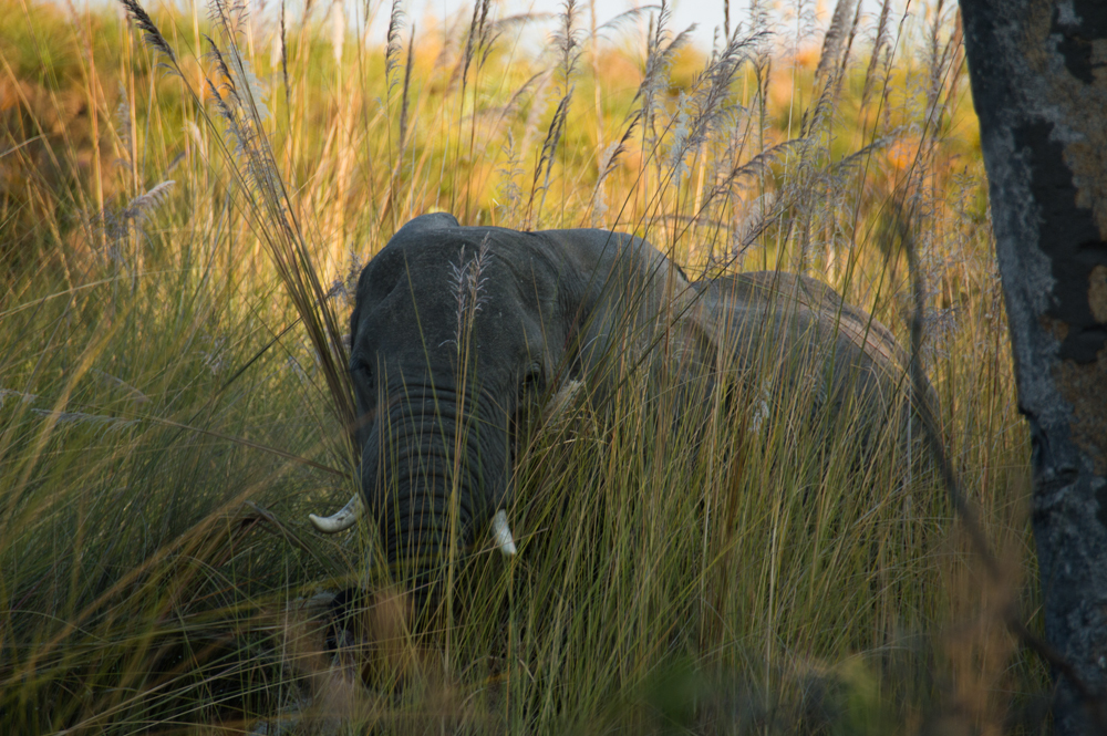 African elephant, Africa, sale, sales