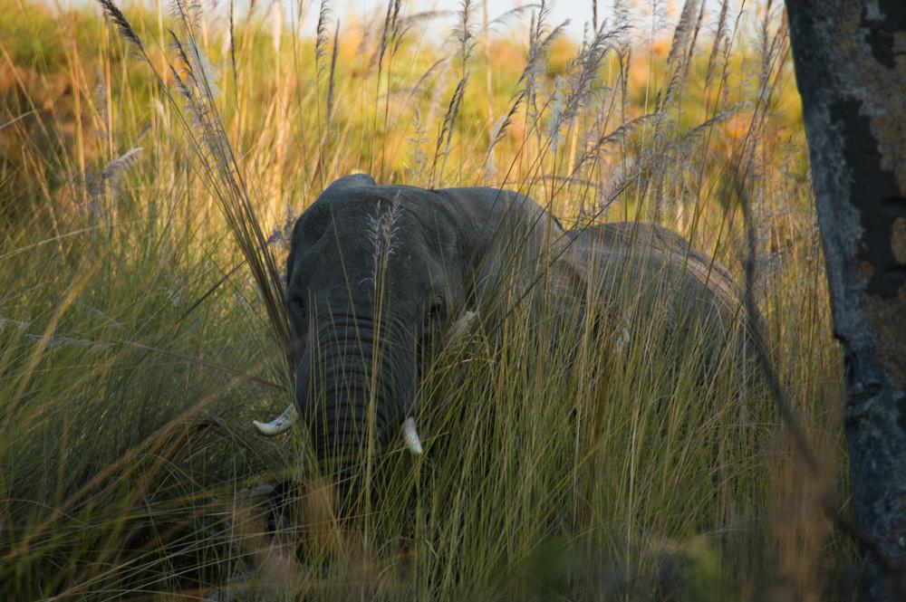 African elephant, Africa