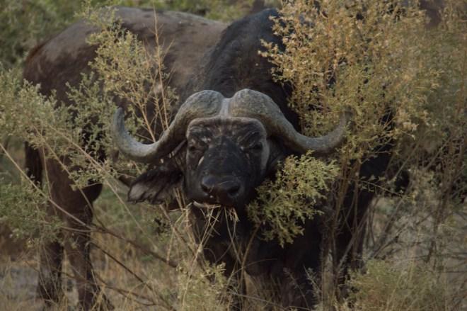 Africa, Moremi National Park, Botswana