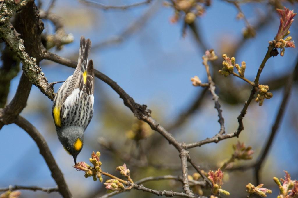 yellow-rumped warbler, Siskiyou Mountains, Ashland, Oregon