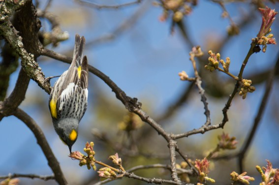 yellow-rumped warbler, Siskiyou Mountains, Ashland, Oregon
